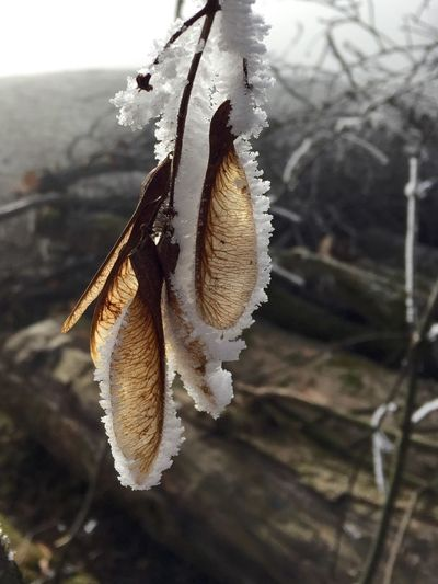 Frost Nature Close-up Focus On Foreground Outdoors No People Beauty In Nature Growth Day Twig Fragility Tree Cold Temperature Branch Sycamore Seeds Switzerland Winter Nature Frosty Days Cold Valley