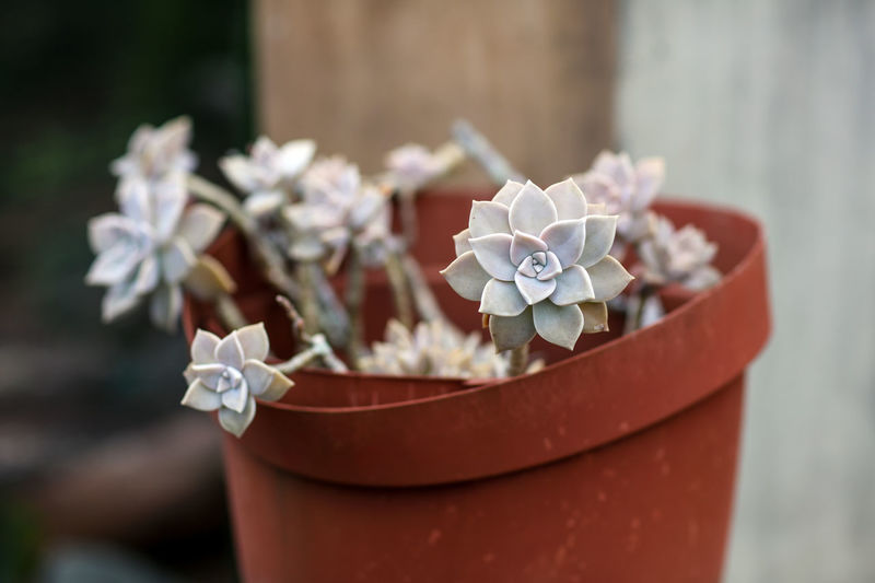 Succulent Succulent Plant Plant Beauty In Nature Potted Plant Flower Pot Outdoors Day Freshness Focus On Foreground Growth Succulent