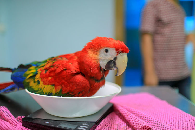 Close-up of parrot perching in bowl on weight scale at hospital