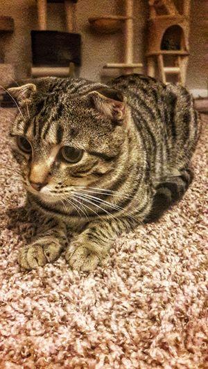 Scottish Cat♡