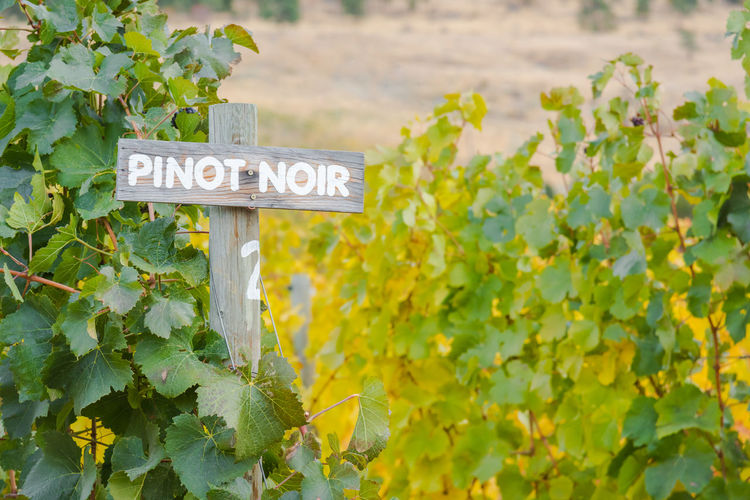 Pinot Noir sign with autumn grapevines in vineyard Afternoon Agriculture Autumn Autumn Colors Autumn Leaves British Columbia, Canada Naramata Naramata Bench October Okanagan Valley Pinot Noir Sign Travel Vines Wine Tourism Flora Grapes Grapevines  Outdoors Row South Okanagan Tourism Vineyard Viniculture Winery
