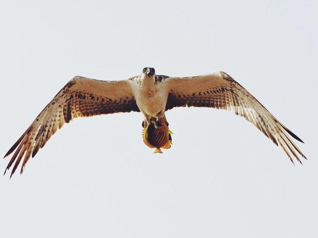 Catch of the day. Bird Bird Photography Birds_collection Falcon Catch Flying Bird Flying Sky Bird Hunting  Hunting