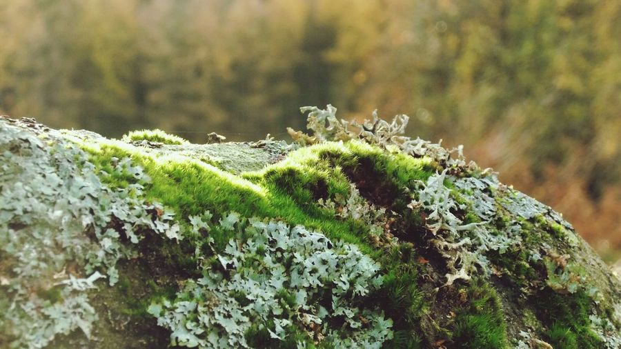 Nature No People Outdoors Day Growth Green Color Moss Close-up Beauty In Nature Pinaceae Tranquility Plant Lichen Forest Tree Mountain Freshness Moss And Lichen Dimmingsdale Autumn Fragility Lush - Description Beauty In Nature Green Color