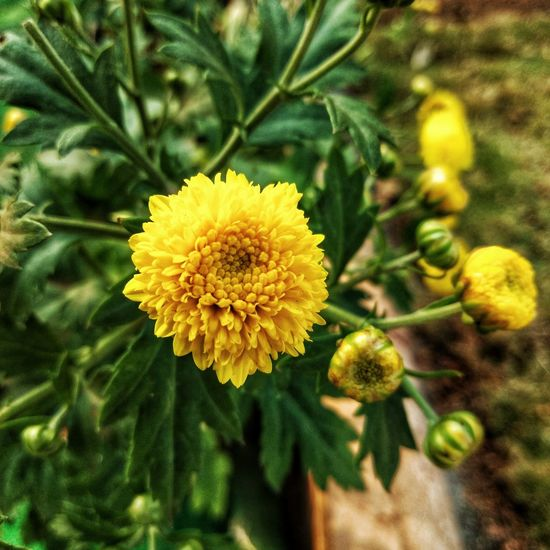 Beautiful Beauty Flowerlover Indiaclicks Photographers PhonePhotography Instagram Incredibleindia Awesomepic India_throughlens Naturephotography Pretty Trell Closeup Bud Flower Yellow Growth Nature Fragility Freshness Plant Flower Head Petal Beauty In Nature No People Close-up Outdoors Day