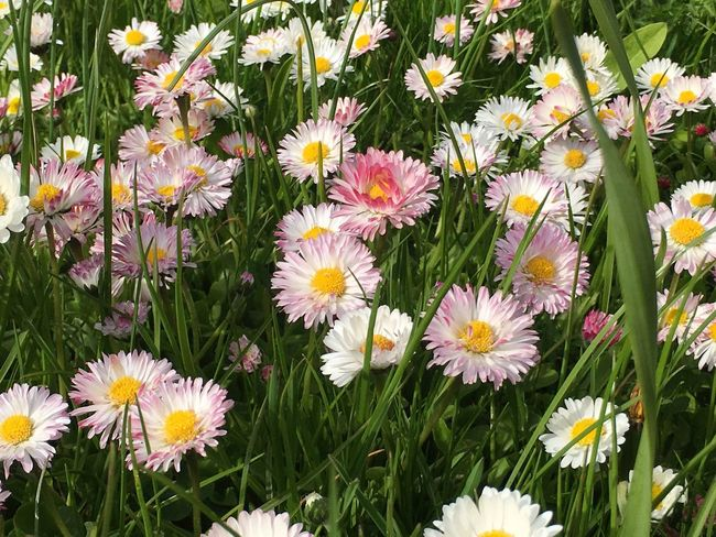 Spring Spring Flowers Nature No People Outdoors Blooming Beauty Day Pink Sweden Godaminnen Photography