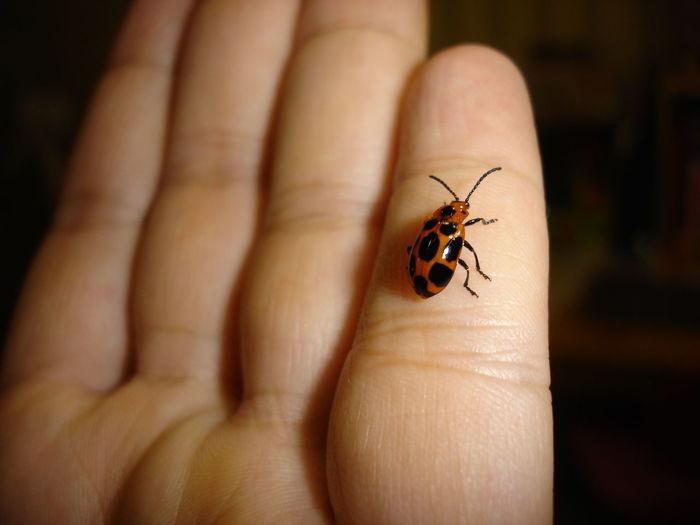 Animal Themes Black Spots Close-up Elongated Body Human Hand Insect Ladybug One Animal Orange