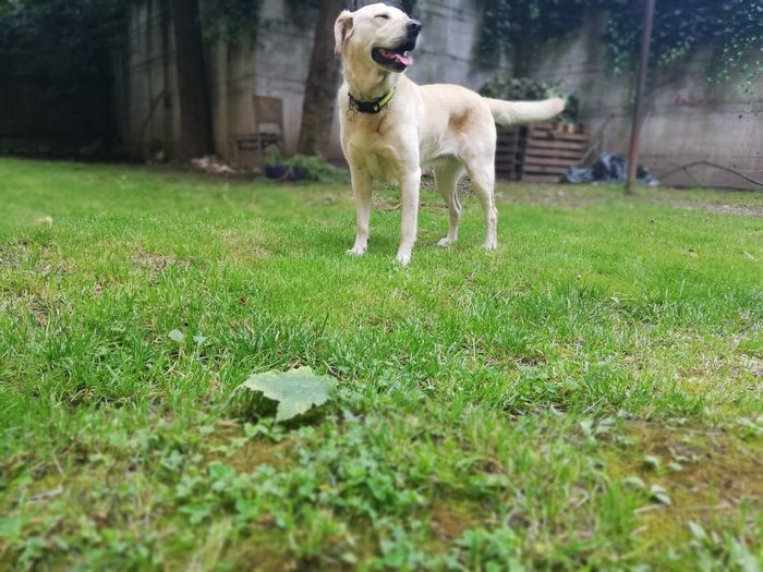 Dog standing on lawn