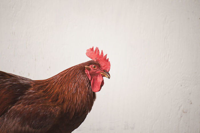 Rhode Island red rooster against a blank vintage wall with space for copy Animal Animal Head  Animal Themes Bird Chicken Chicken - Bird Close-up Copyspace Day Domestic Domestic Animals Livestock Male Animal Mammal Nature No People One Animal Outdoors Pets Profile View Red Rhode Island Red Rooster Side View Vertebrate