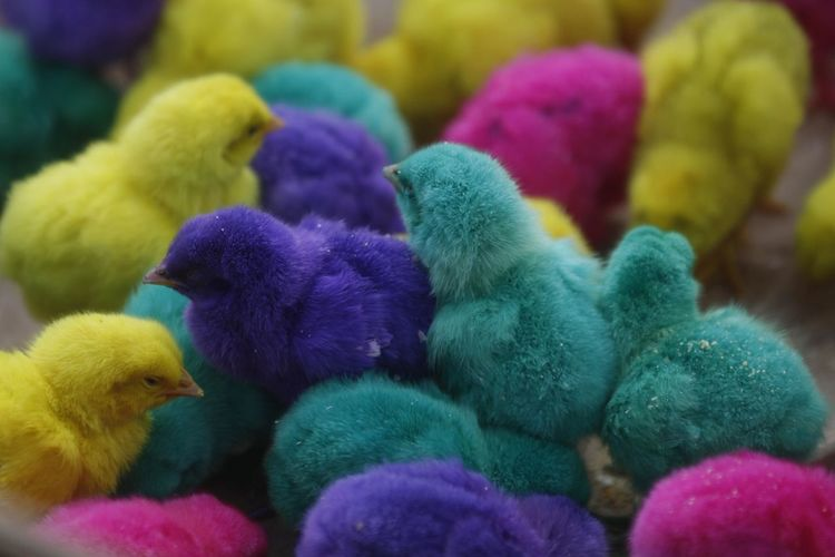 Colorful chickens in Indonesia. Bird Young Bird Vertebrate Animal Young Animal Group Of Animals Animal Themes Close-up No People Baby Chicken Multi Colored Yellow Domestic Animals Chicken - Bird Livestock Pets Indoors  Domestic Day Softness