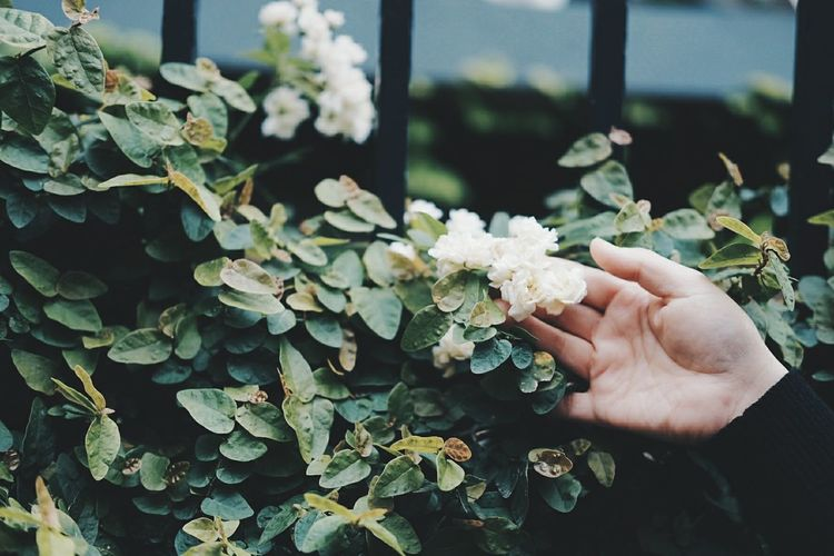 Cropped hand touching white flowers