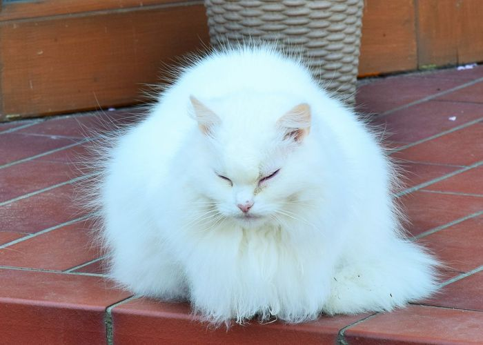 ....ich muss mich erst einmal ausruhen. Pets Domestic Domestic Animals Mammal One Animal Cat Feline Domestic Cat Vertebrate Relaxation White Color No People Whisker Close-up Eyes Closed  Portrait