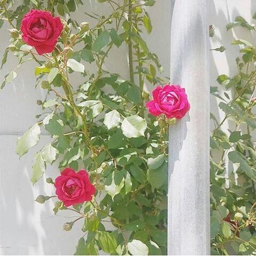 Taking Photos Roses Rose🌹 Flowers Flower Green Red Analog