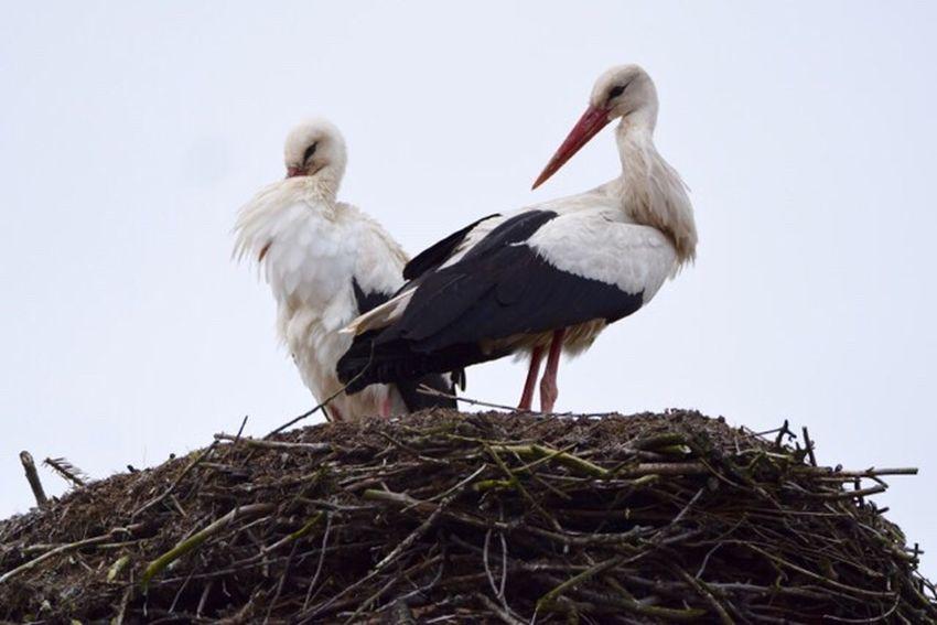 Stork Storks Storks Nest Storks Couple Störche Storchennest Storch Storchenschnabel🌾 Stork Nest Rühstädt Germany🇩🇪 Animal Themes Animals In The Wild Animal Bird Photography Birds_collection Selektive Farbe Selective Color Prignitz