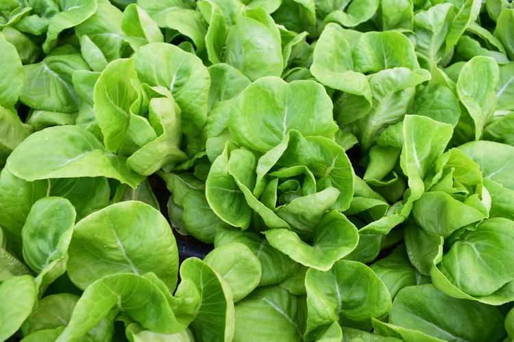 Green Growth Natural Natural Beauty Natural Pattern Nature Plant Plant Life Plant Part Plants Salad Vegetables & Fruits Eat Growth In Nature Growth Nature Close-up Growth Process Plants And Flowers Vegetable Vegetable Garden Vegetables Vegetables Photo