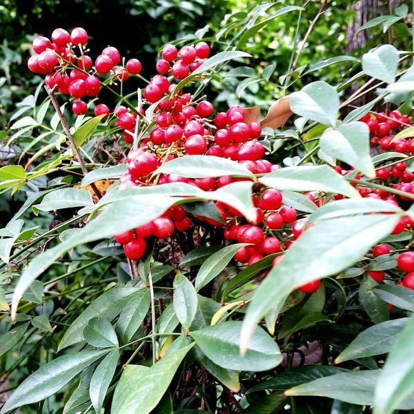 Holly Holidays Red Berries DECEMBER2015 Garden Photography Eyeem Plants Taking Photos Photography Freelance Life Outdoors Macro Plants Macro Nature Closeupshot Check This Out Seasonal Colors Seasonal