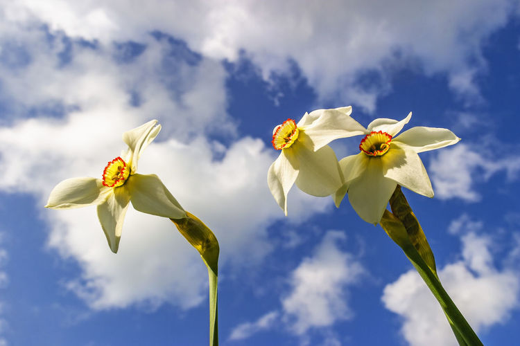 Pheasant's-eye daffodils flowers from below and a blue sky