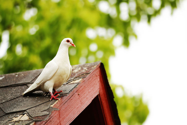 White dove perching on roof