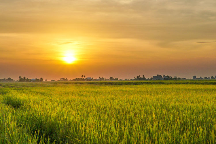 Sunset view at a paddy field Agriculture Beauty In Nature Cereal Plant Crop  Day Field Golden Color Grass Green Color Growth Landscape Nature No People Outdoors Paddy Field Rural Scene Scenics Sky Sunset Tranquil Scene Tranquility Yellow The Great Outdoors - 2017 EyeEm Awards