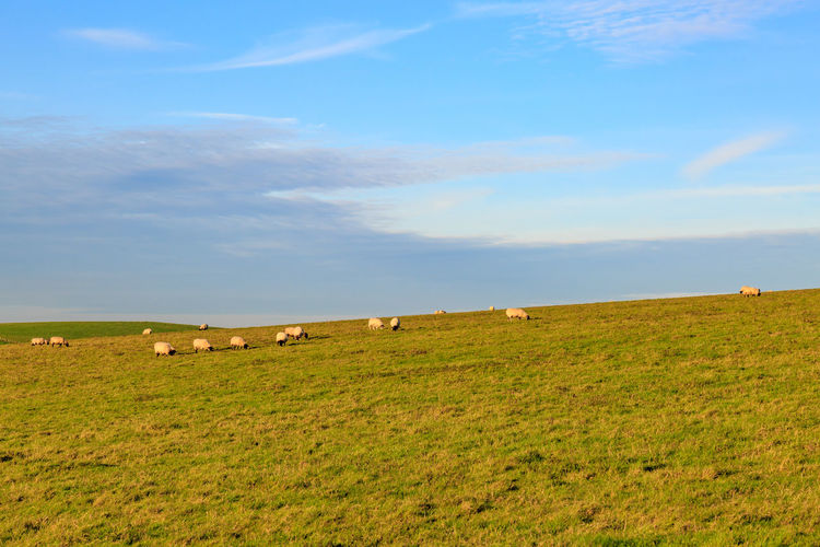 Mid distance view of sheep grazing on field against sky