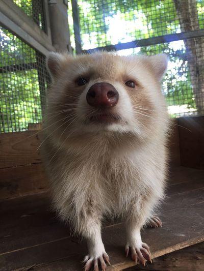 Raccoon Animal Themes Animal One Animal Pets Domestic