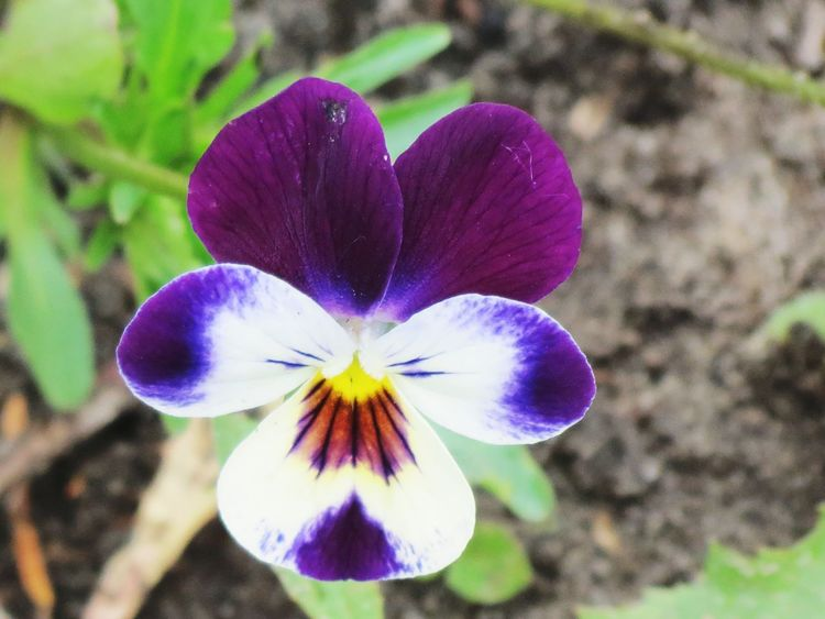 Country Life прованс Country Hygge Decoration Garden Photography Magic Garden Magic Moments Garden сад Countryside Flower Head Flower Petal Pansy Purple Close-up Plant