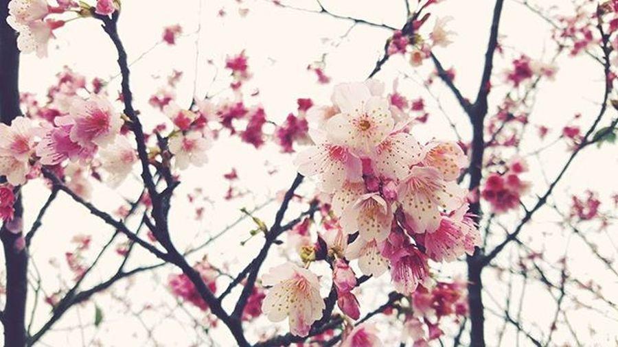 Threeyears 離開台北時也有這樣的櫻花 開在那間濃縮了所有情感的屋子前 她總在等待開門時 著迷地站在樹下望著 看呀看的 櫻花就再也沒有盛開過了。