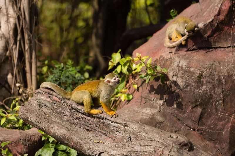 Squirrel Monkey Animal Themes Animal Animal Wildlife Animals In The Wild Vertebrate One Animal Mammal No People Rock Tree Rock - Object Focus On Foreground Outdoors
