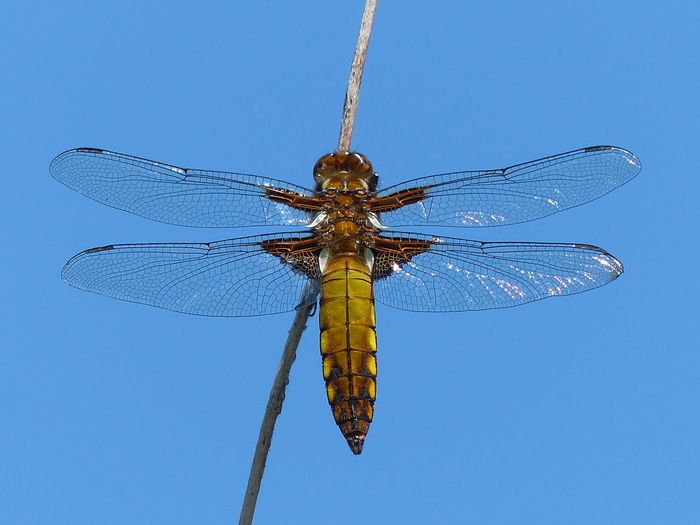 Low angle view of dragonfly against blue sky