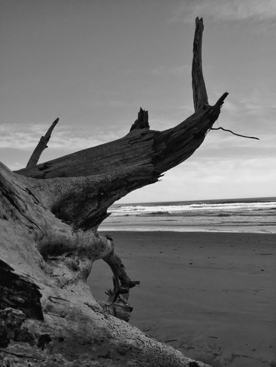 Scenic Cape Lookout, Oregon Abstractions In BlackandWhite Abstract Nature Beach Beach Photography Nature Nature Photography Oregon Coast Textures And Surfaces Tree Light And Shadow TreePorn Sculpure Landscape_photography Landscape #Nature #photography Landscapes Landscape Driftwood Silhouette Fallen Tree Oregon