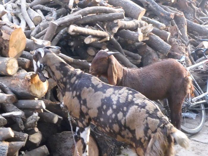 Goats at a woodpile Mammal Animal Animal Themes Vertebrate Animal Wildlife No People Day