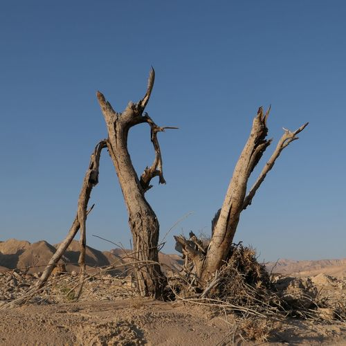 Global Warming Desertification Dried Tree Sky Clear Sky Land Nature Day Plant No People Desert Sunlight Tranquility Landscape Scenics - Nature Environment Tree Outdoors Arid Climate Blue