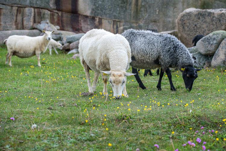 Sheeps Animal Family Beauty In Nature Domestic Animals Farm Field Grass Grassy Grazing Grazing Animals Lamb Landscape Nature Sheep