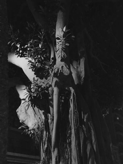 Monochrome Photography Black And White Spectral Tree Night Night Photography Night Lights Phamton Nature Autumn Autumn Night