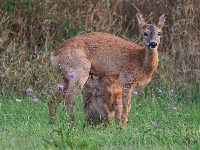 Mother's love Bambi Mother's Love Deer Fawn Rehkitz Reh Animal Themes Animal Plant Grass Mammal Field Vertebrate Flower Nature Animals In The Wild Animal Wildlife Flowering Plant
