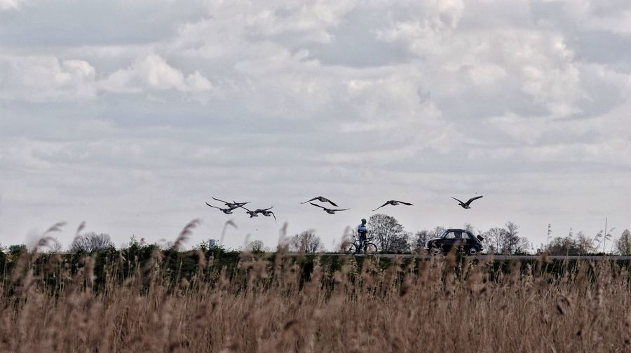 Panning Geese Cyclist Car Passing In Time Dutch Landscape Natural Beauty close encounters
