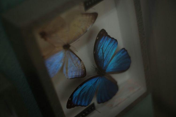 You and me Vintage Lenses Papiyon Swallowtail Butterfly Swallowtail Butterflies Buterfly FUJIFILM X-T1 Carl Zeiss Jena Pancolar 50mm F2 Fuji X-T1