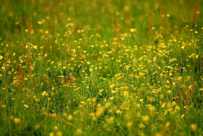 Buttercup Meadow Buttercups In Full Bloom Buttercup Field Buttercups Bulbous Buttercups Creeping Buttercups Wildflowers Wild Grasses Great Outdoors Outdoor Photography Nikon Photographer Eyeem Collection