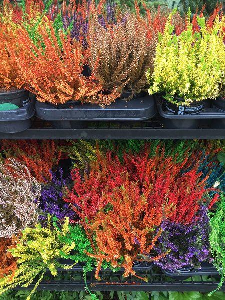 Multicoloured heather plants Multi Colored Multi Coloured Heather Plants For Sale Plants Plsnt Nursery Garden Centre Coloured Colourful