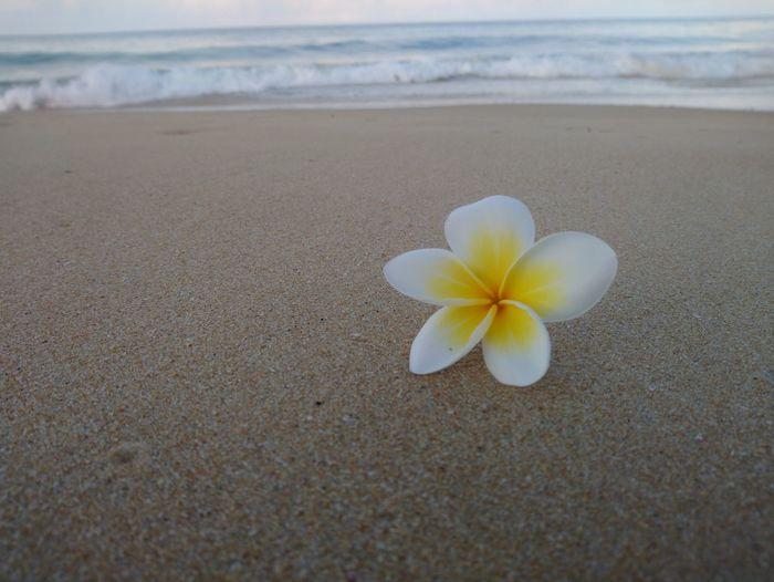 Plumeria Flower Frangipani Water Sea Flower Head Wave Beach Sand Summer Beauty Coastal Feature