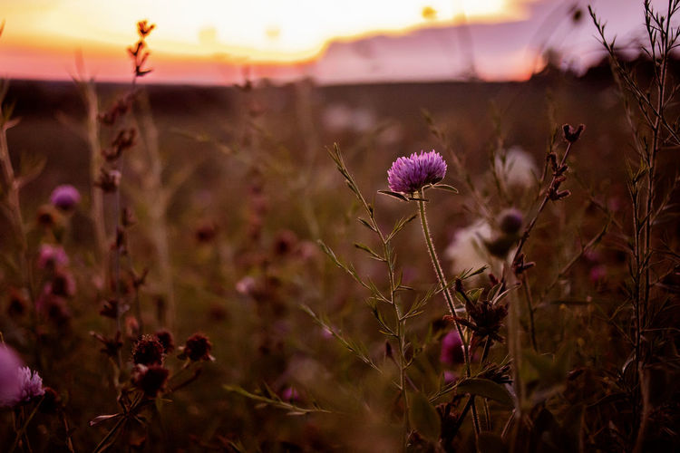 Close-up of thistle flowers on field