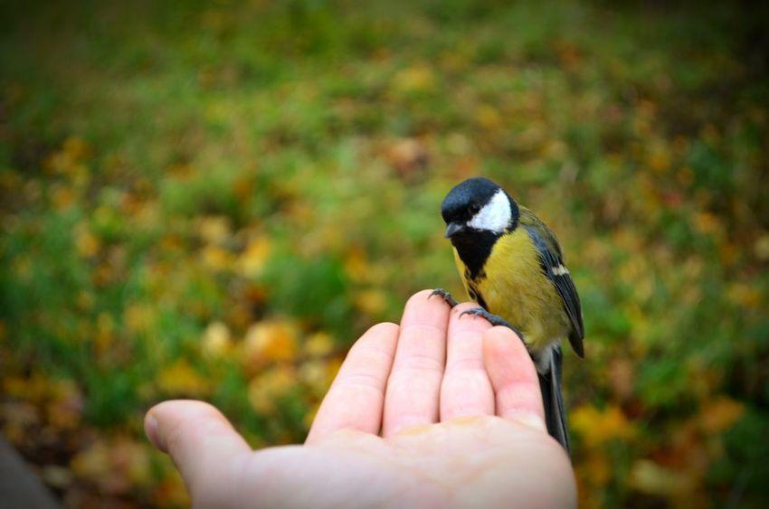 Bird On Hand Titmouse