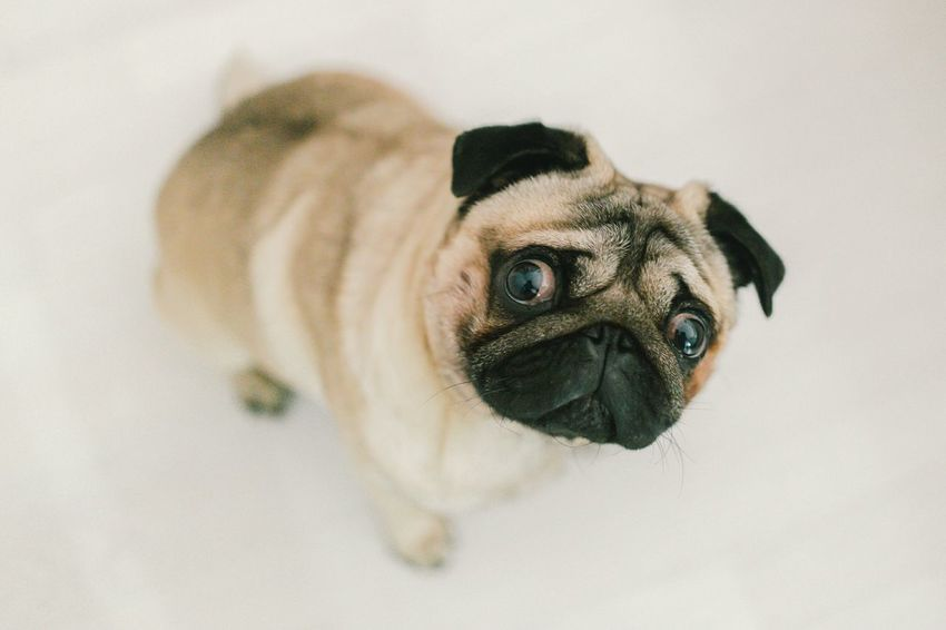 Pug Life Pug Puglia Pugs Puglife Ilovemydog Ilovemypet Pet Dog Frankesteinthepug Mops