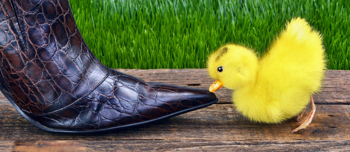 Yellow Baby Chicken By Leather Shoe On Table