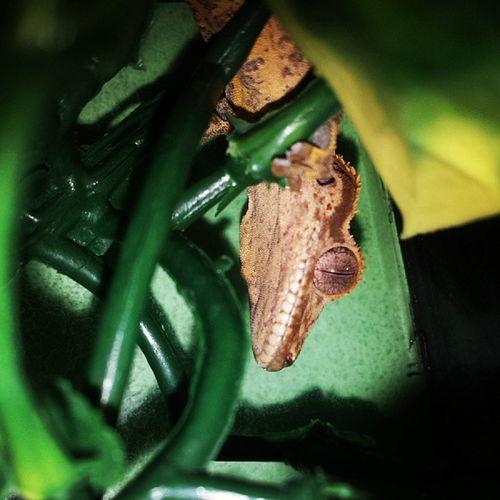 Gecko Babylizard Lizard Reptilesofinstagram