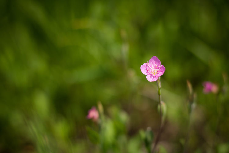 The little beauty Beauty In Nature Blooming Bokeh Close-up Flora Floral Flower Flowers Grass Green Little Nature Nature No People Outdoor Outdoors Pink Color Pretty Small Violet