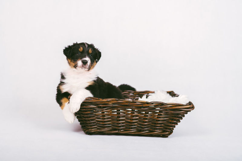 Portrait of puppy sitting on basket over white background