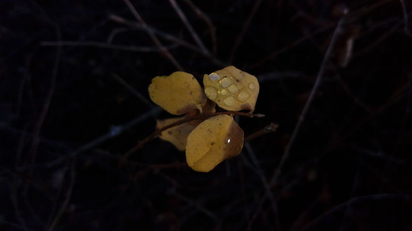 Beauty In Nature Close-up Day Leaf Nature Night No People Outdoors Water Yellow