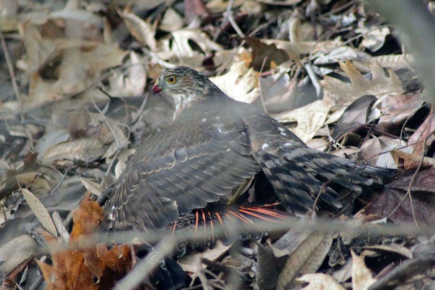 Hawk with kill. Taking Photos