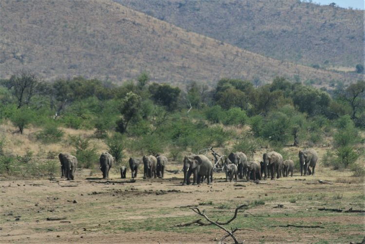 Herd Of Elephants African Elephant Safari Animals Wildlife Wildlife & Nature South Africa Is Amazing Outdoor Photography Pilansberg National Park Africa