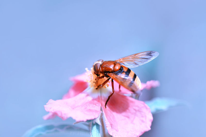 Close-up of insect pollinating on pink flower